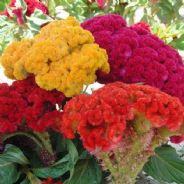 Celosia cristata - Tall Mixed - Appx 1000 seeds - 1 gramme
